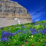 2-Mt-Timpanogos-Wild-Flowers