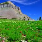 3-Mt-Timpanogos-Wild-Flowers-Roberts-Horn