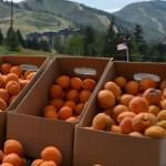 Canyons-Utah-Farmers-Market-Fresh-Apricots